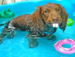 If rabbits mated with dachshunds, and then decided to go swimming.... (Doxieone) Tags: blue summer brown rabbit water pool yellow swimming puppy fun toys duck interestingness fdsflickrtoys long teddy chocolate teeth dachshund frog explore 101 v getty exploreinterestingness haired rubberduck mostpopular ggg 1002 longhaired ourdogs onexplore rabbitteeth explored 53012825 doxieone101 teddyset ddate pup2011 pupsinpoolset
