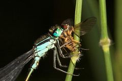 """Damselfly with dinner • <a style=""""font-size:0.8em;"""" href=""""http://www.flickr.com/photos/57024565@N00/193332010/"""" target=""""_blank"""">View on Flickr</a>"""