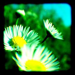 (r.yen) Tags: flower crossprocessed vibrant dxpro duaflex viewfinder throughtheviewfinder ttvf