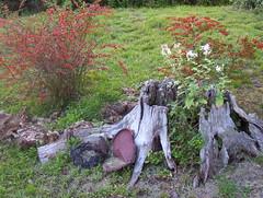 First Ones 042 (irish blue eyes) Tags: life flowers red wild camp mountain still stump driftwoodpa masonhill