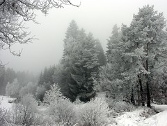 Cold and grey (Linda6769) Tags: winter mist snow tree nature forest germany woods village hoarfrost thuringia explore spruce baum conifer nadelbaum hildburghausen konifere explored nobw brden koniferenimwinter coniferinsnow
