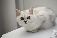 IMG_8188 (junku) Tags: cats cat canon eos kitten sigma kitties 5d 猫 hime ねこ ネコ sigma50mmf28exdgmacro canoneos5d eos5d チンチラ
