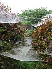 Spider's delight (dwedelstein) Tags: morning ilovenature bush web spiderweb dew hedge