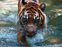 Sumatran Tiger (tempestfugit) Tags: wild nature water animal animals topv111 cat wow d50 zoo nikon tiger wildanimal endangered endangeredspecies ilovenatue interestingness172 i500 nikonstunninggallery specanimal