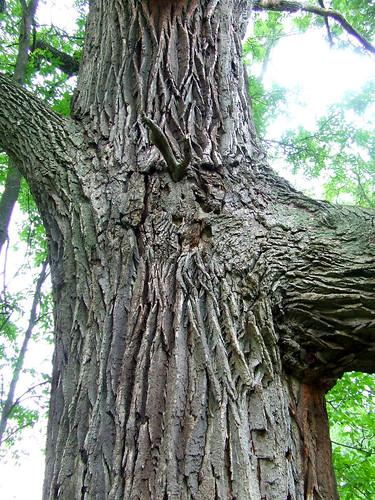 bur oak face