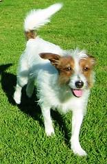 Shiny happy dog (Catalia) Tags: dog happy shiny sunny terrier jackrussell indi