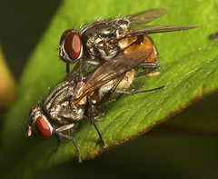 "Mating Flies(3) • <a style=""font-size:0.8em;"" href=""http://www.flickr.com/photos/57024565@N00/205834243/"" target=""_blank"">View on Flickr</a>"
