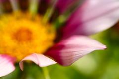 (Kieran Campbell) Tags: flower macro home scotland aberdeenshire bokeh garioch bokehsoniceaugust bokehsoniceaugust11
