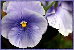 1448_Purple Pansy copy.jpg - by Lumiere2005
