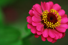 (code poet) Tags: pink red flower macro green yellow topv111 topv555 topv333 bokeh lexington kentucky magenta arboretum 100v10f 100mm topv777 zinnia