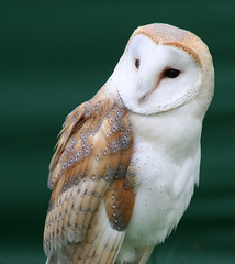 Barn Owl (Tyto Alba) (Stevie-B) Tags: deleteme5 deleteme8 deleteme deleteme2 deleteme3 deleteme4 deleteme6 deleteme9 deleteme7 barn interestingness saveme alba saveme2 saveme3 deleteme10 creativecommons owl savedbythedeltemeuncensoredgroup tyto trevorhillfalconry naturelover highqualityanimals