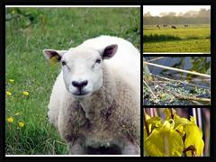 Nederland (Esther fotografeert) Tags: summer flower holland green dutch animal yellow landscape fdsflickrtoys groen sheep nederland zomer geel dier landschap bloem schaap