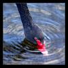 dipping (EssjayNZ) Tags: newzealand ilovenature swan drinking 2006 essjaynz blackswan dipping tokoroa redbeak featheryfriday taken2006 5hits 2pair sarahmacmillan