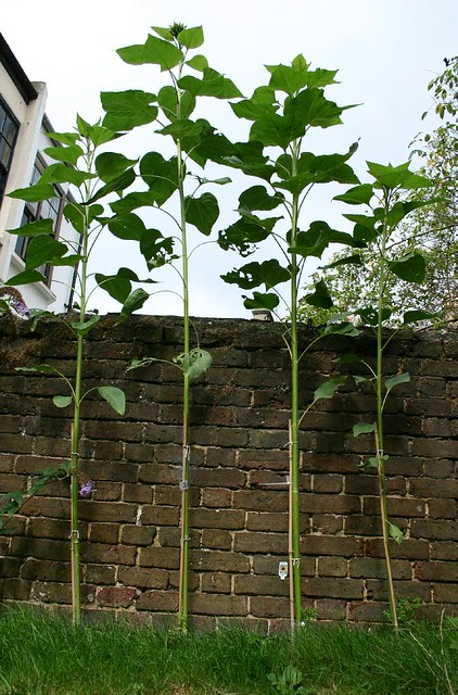 Sunflower Competition - day 84