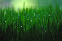 wheat grass with dew (lynne bernay-roman) Tags: green grass diamonds glow sparkle dew gems emerald sprouts homegrown enchanted wheatgrass gtaggroup goddaym1 abigfave p1f1 betterthangood