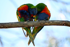 The Shape of Love! (Brenda-Starr) Tags: nature birds fauna canon bravo native wildlife australian lorikeet bluemountains canon350d canonrebel parrots lorikeets rainbowlorikeets august2006 blaxland featheryfriday birdphoto top20birdshots animaladdiction specanimal animalkingdomelite sigmaex50500mm abigfave wildlifewarriors avianexcellence betterthengood