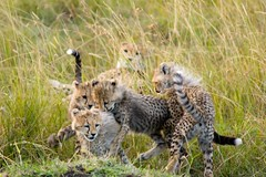 Child's Play (Kalabird) Tags: africa travel vacation game animals action kenya safari cheetah playful masaimara wildanimals cheetahcubs greatmigration canonef75300mmf456iiiusm