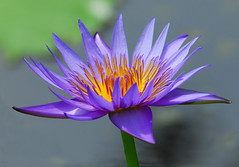 Electric Blue Too (ozoni11) Tags: pink flowers blue flower nature electric waterlily purple lotus waterlilies wetlands waterplants waterplant lotusblossom interestingness291 nikonstunninggallery