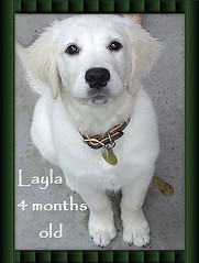 English Golden Retriever Layla 4mos old (Hidden Meadow Goldens) Tags: old english golden retriever layla 4mos