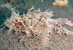 Ambon scorpionfish - Pteroidichthys ambo by Stephen Childs, on Flickr