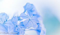 Light in the light ... (frederic.gombert) Tags: flower flowers light blue color colors sun summer plumbago sunlight macro sony alpha alpha7 colorful