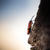 Climbing... (Zeeyolq Photography) Tags: insect macromondays climb climbing gendarme itsalive nature pyrrhocore paris îledefrance france