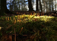 #Moss #mushrooms #lichen #lichens #green #mushroom #dew #drops #droplets #sunset #shining #through #nature #growing #wild #forest #trees #stump #mosses #mossy #mikey #Mike #Liebler #covering #covered #Connecticut #details #leaves #leave #fallen #woods (mikeliebler222) Tags: sunfalls sunlight sunshine forestfloor sunfallingon moss mushrooms lichen lichens green mushroom dew drops droplets sunset shining through nature growing wild forest trees stump mosses mossy mikey mike liebler covering covered connecticut details leaves leave fallen woods