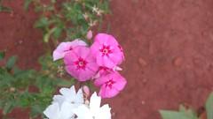 IMG_20161215_192142823 (Rodrigo Ribeiro) Tags: flor flower garden gardening jardim jardinagem nature natureza flores
