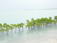 The biggest problem in Kiribati is the rising sea levels. To try to compete against the sea, people try to plant mangrove trees to protect the erosion!