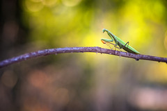 The first mantis (Thomas Vanderheyden) Tags: macro green nature yellow fauna jaune insect fuji artistic bokeh ngc vert tamron 90mm f28 faune naturesfinest beautifulearth mantereligieuse mantisreligiosa proxi xt1 thomasvanderheyden tomtomphotography dictyopteres picartnature