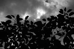 Campagna veneta in agosto - passeggiata tra caldo e afa (filippo.bassato) Tags: monocromo italia nuvole campagna agosto sole piante biancoenero colline padova collieuganei contrasto allaperto campagnaveneta