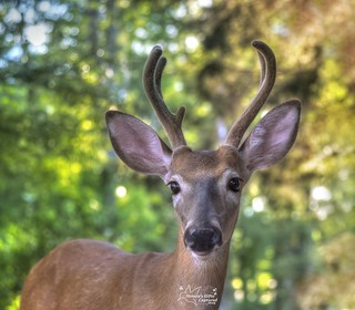 Whitetail Buck _ KARL