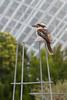 Kookaburra (stuntguy3000) Tags: bird animal dof australia depthoffield adelaide botanic kookaburra smalldof adelaidebotanicgardens