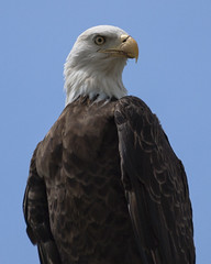 Bald eagle (yoelisd2003) Tags: pictures birds eagle outdoor baldeagle bald nationalparks floridaeverglades olympuse3 olympus70300