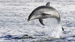 Typical Kesslet (Charlie S Phillips) Tags: sea marine dolphin conservation wdc charlie dolphins whale moray firth bottlenose tursiops truncatus