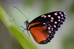 Butterfly (Rene Mensen) Tags: macro butterfly insect zoo wings nikon rene thenetherlands micro nikkor mariposa drenthe emmen noorderdierenpark mensen dierentuin dierenpark d5100