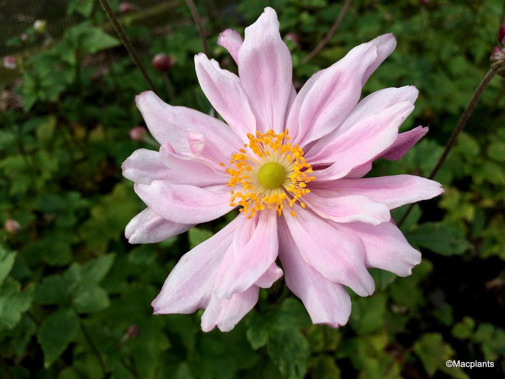 Anemone x hybrida 'Montrose'