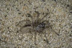 Possible Aptostichus chemehuevi (aliceinwl1) Tags: aptostichus aptostichuschemehuevi arachnid arachnida araneae arizona2015 arthropod arthropoda ca california euctenizidae kelsodunefield kelsodunes mojavedesert mojavenationalpreserve mygalomorph mygalomorphae sanbernardinocounty waferlidtrapdoorspider chemehuevi locpublic spider viseveryone