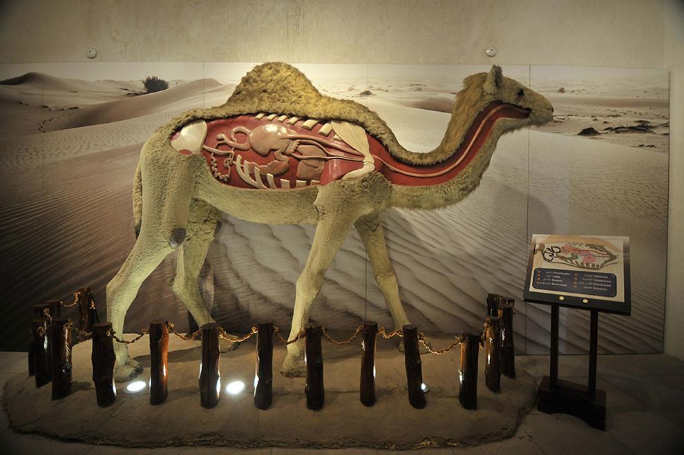 dubai camel museum