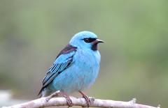 Sai-azul/Blue Dacnis DSCN1608 (zafonso) Tags: brazil wildlife bluedacnis saazul santamariadeitabira fazendadofunil funnelfarm