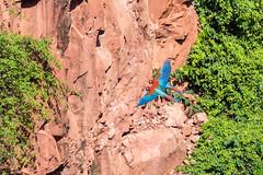 Synchronized flying (tmeallen) Tags: pair crater redandgreenmacaw doline limestonecliffs arachloropterus buracodasararas synchronousflying