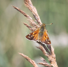 Kommafalter/Silver-spotted skipper (Hesperia comma), Germany