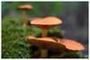 Swirly mushrooms (Paulemans) Tags: oktoberfest2015 mushrooms funghi paddestoelen mushroom paddestoel paulemans paulderoode meyeroptikgoerlitz1qprimoplan11958v m42