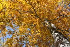 Japanese Beech (bamboo_sasa) Tags: autumn leaves japan japanese 日本 紅葉 秋 nagano beech shinshu 長野 信州 ブナ 木島平 kijimadaira kayanotaira カヤの平