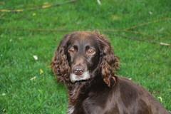 Cosette_374 (leeder-five) Tags: cosette rin pflegehund
