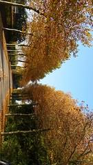 platanen in herfstkleur (Omroep Zeeland) Tags: herfst zon platanen laanbomen