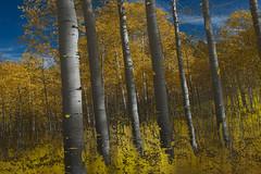 Gold Rush II (Karen McQuilkin) Tags: autumn trees west fall gold utah aspens theawardtree karenmcquilkin goldrushiiquakies