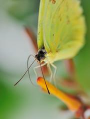 Citron JVA_0730 (mrjean.eu) Tags: sara sp atlas demi insectes attacus papillons heliconiinae deuil heliconius phaetusa dryatula