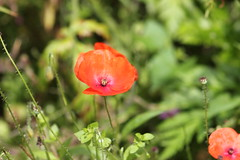 IMG_9463 (Jeff And) Tags: ireland plants flower gardens eire robinson floweres mountusher mountushergardens