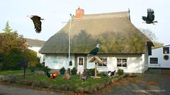 Stabiles Vogelhaus in Altefhr (Carl-Ernst Stahnke) Tags: adler katze vorgarten rasen wohnhaus reetdach hhne altefhr reetdachhaus eigenheim feldsteine weiskopfadler